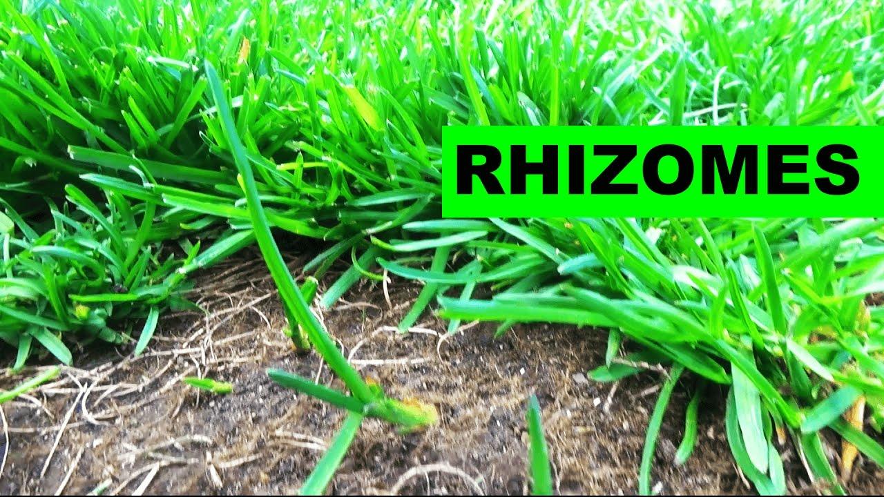 Elite Kentucky Bluegr Rhizomes