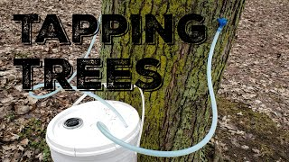 Making Maple Syrup - Tapping Trees