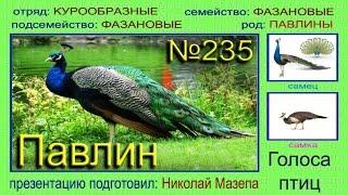 Павлин. Голоса птиц