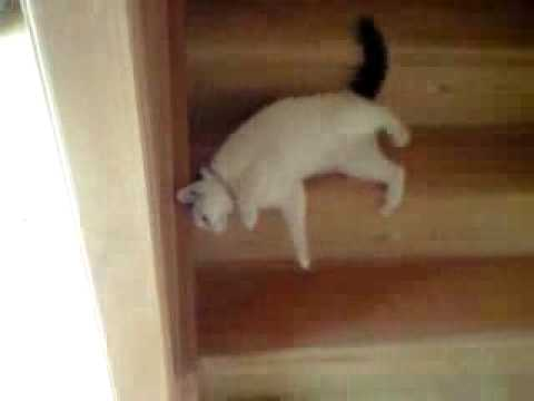 Mèo xuống cầu thang bằng lưng