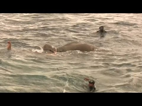 Jumbo salvage: Elephant saved from ocean in bizarre rescue mission