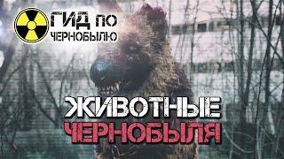 Животные Чернобыля. Природа запретной зоны.(https://chernobylguide.com/ru/zhivotnye_chernobyla.html В момент радиационного загрязнения окружающей среды после взрыва 4 энергобл..., 2016-12-07T17:14:16.000Z)