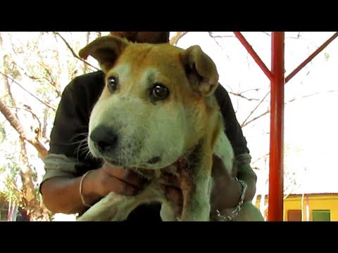 Dog dizzy with pain from swollen head rescued