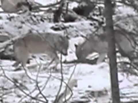 Wolfs Of Manitoba