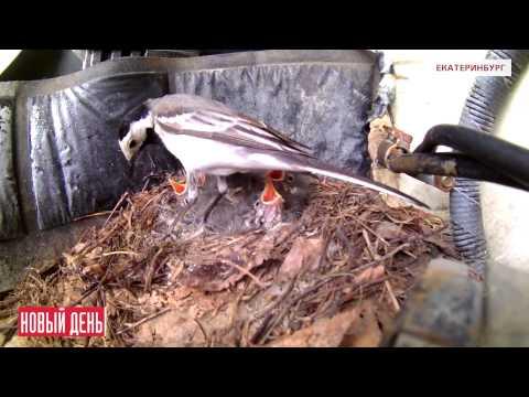 Птица свила гнездо под капотом машины