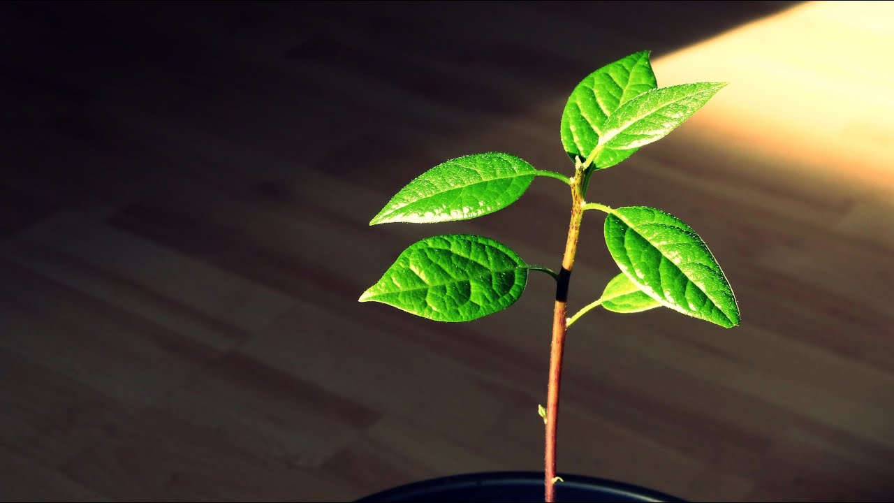 Pruning An Indoor Avocado Tree Youtube