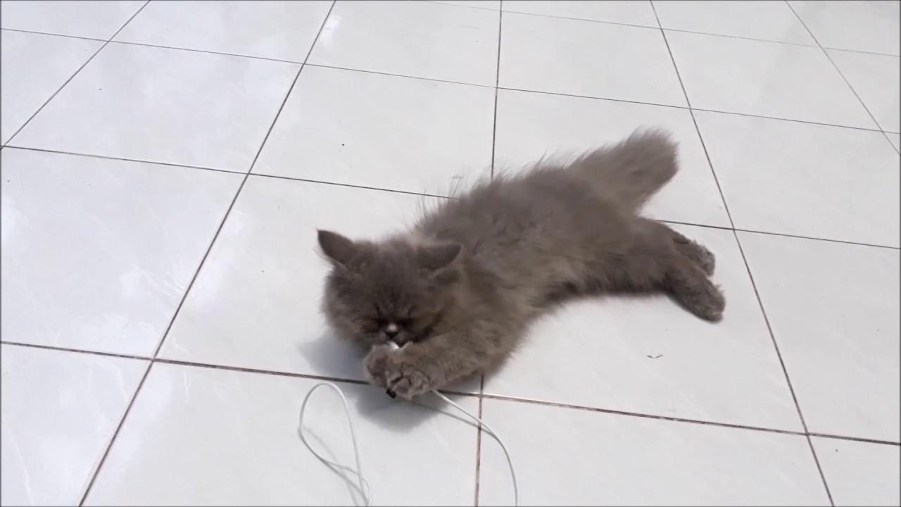 Unduh 97+  Gambar Kucing Jenis Persia Lucu Gratis