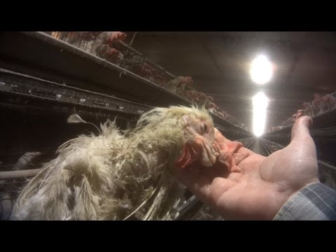 WATCH: The Video the Rotten Egg Industry Doesn't Want You to