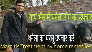 गाय भैंस मे थनैला रोग का घरेलू उपचार / mastitis Treatment in cow and Buffalo
