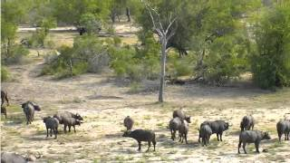 Jan 24 Djuma Cam Lions launch attack on buffalo herd