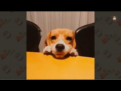Beagle Compilation 2017 # 1