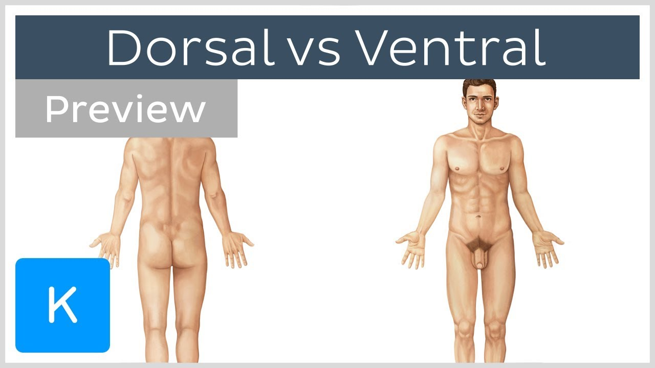 Dorsal vs Ventral (preview) - Terminology - Human Anatomy | Kenhub ...