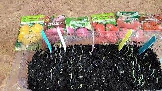 Всхожесть семян томатов на 5 день .