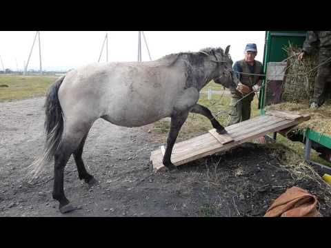 Погрузка лошадки Байкалки на Байкале.