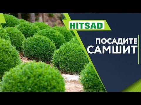 Самшит Посадка и Уход 🌱Полезные Советы от Хитсад ТВ