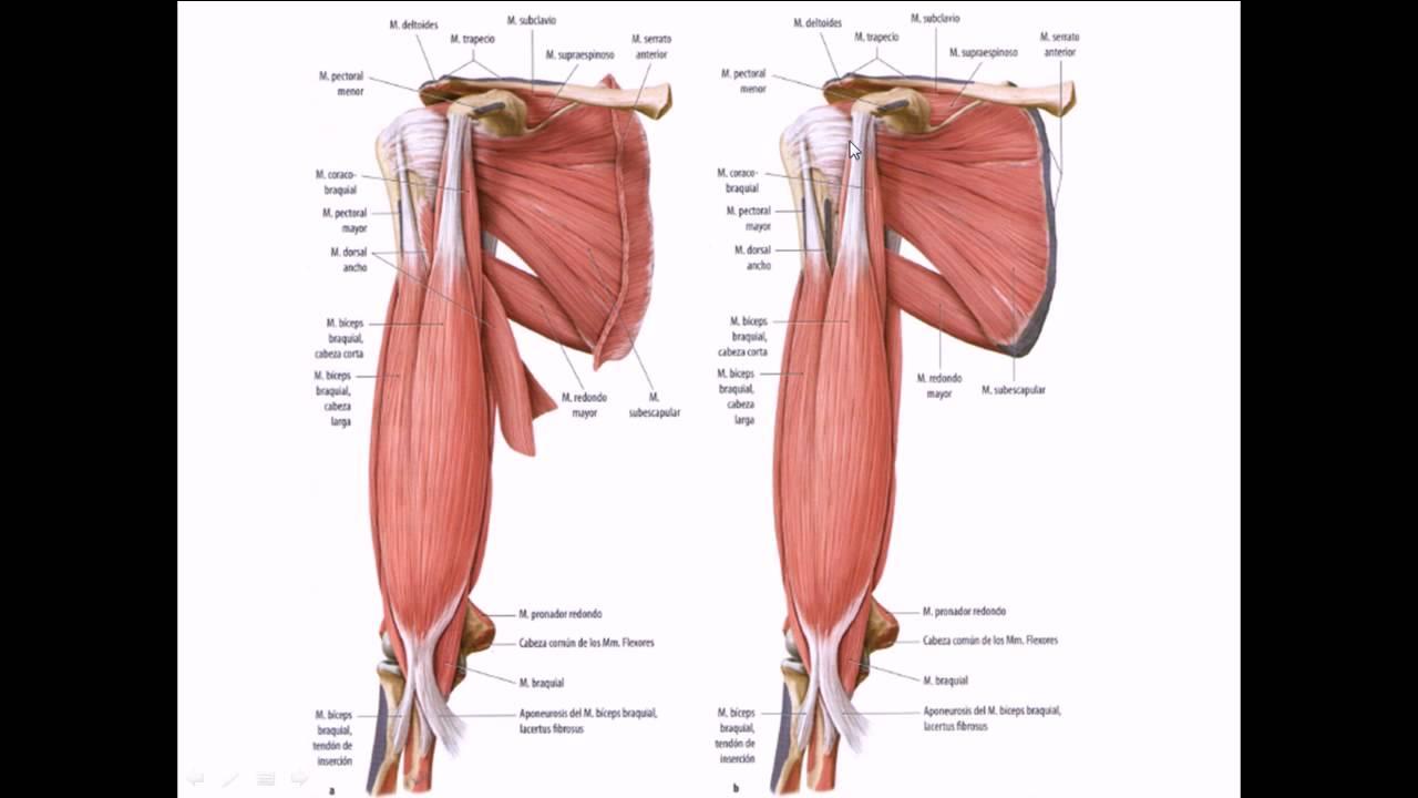 RELACIONES DE LA ARTERIA AXILAR Anatomia Humana Grupo Atlas - YouTube