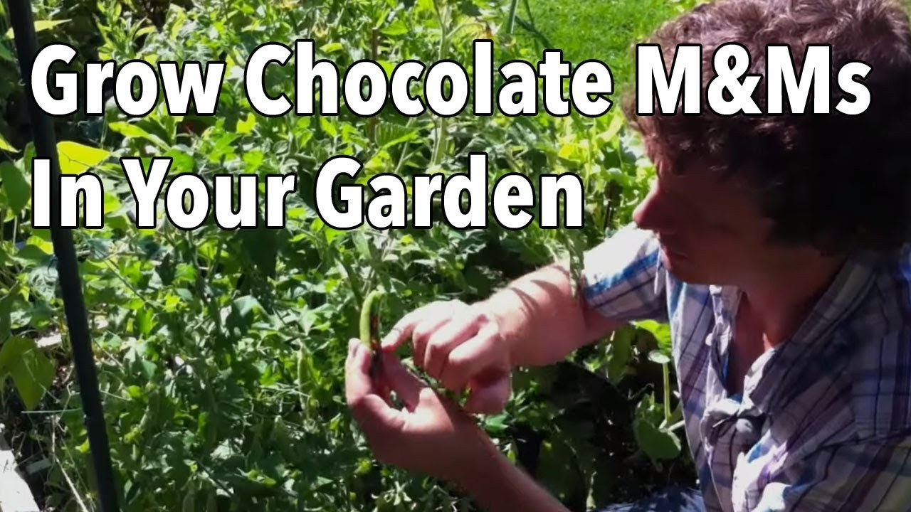 How To Grow Chocolate Mu0026Ms   Free Chocolate From Your Garden!   YouTube
