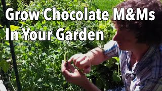 How to Grow Chocolate M&Ms - Free Chocolate from Your Garden!