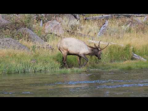 Bull Elk in the Madison River Yellowstone