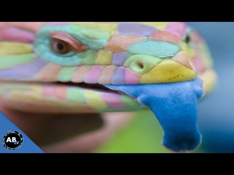 World's Most Colorful Lizards! SnakeBytesTV