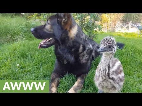 German Shepherd befriends baby emu