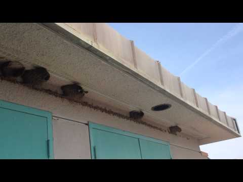 Swallows Return to the Living Coast