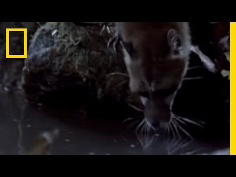 What in the World is a Fishing Genet?   National Geographic