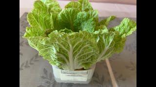 再生蔬菜无需种子时常都有新鲜蔬菜吃。