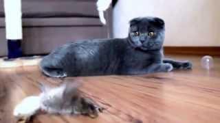 Шотландский котенок - мальчик
