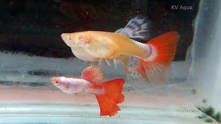 Albino Platinum Red Tail  - Guppy Fish Farm in Kerala