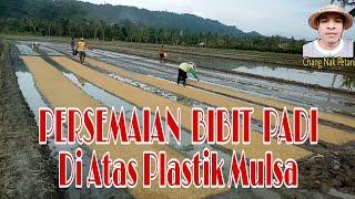 Download lagu PROSES PERSEMAIAN PADI Diatas Plastik Mulsa ||Persiapan Tanam Pindah Dengan Mesin Transplanter