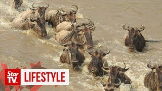 OFF THE BEAT: The 'Great Migration' between Tanzania and Kenya