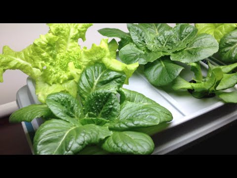 How to Grow Hydroponic Lettuce Indoors - YouTube