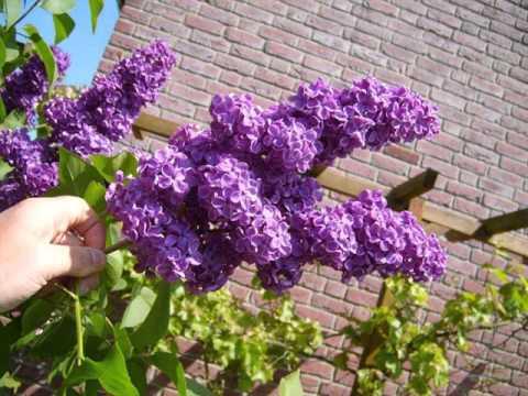 Lilac Tree With Flowers   Syringa Vulgaris Pics