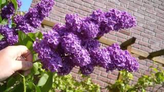 Lilac Tree With Flowers | Syringa Vulgaris Pics