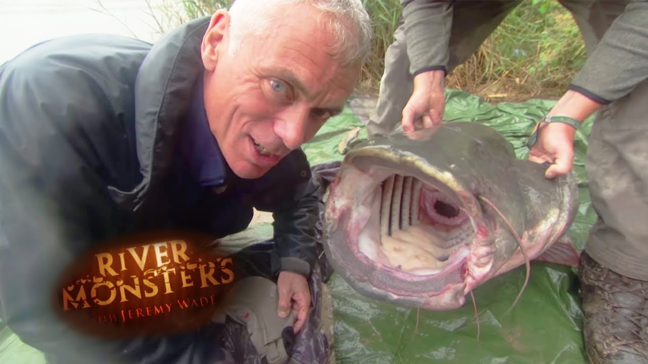 catching an even bigger wels catfish river monsters