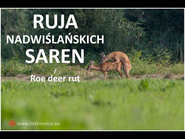 Ruja nadwiślańskich saren / Roe deer rut | fotografuj #zemną