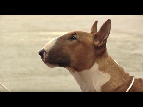 Bull Terrier - Bests of Breed