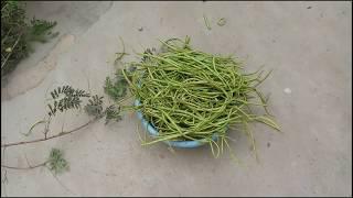 Rajasthani Sangri || मारवाड़ की शाही सब्जी सांगरी || ANIL JANGID