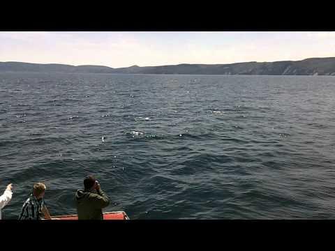 Atlantic White-Sided Dolphins - Bay Saint Lawrence Cape Breton Nova Scotia
