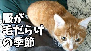 犬猫家(いぬねこや)と申します。 恐怖の換毛期到来ですね(;´・ω・) 基本服は毛だらけスタイルです!(笑) 2019年11月24日 保護猫を2匹引き取...