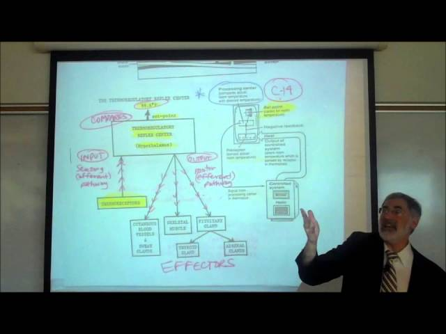 TEMPERATURE REGULATION in the HUMAN BODY by Professor Fink
