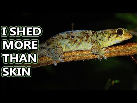 Fish Scale Gecko Facts: Scales Like Sticky Notes! | Animal Fact Files