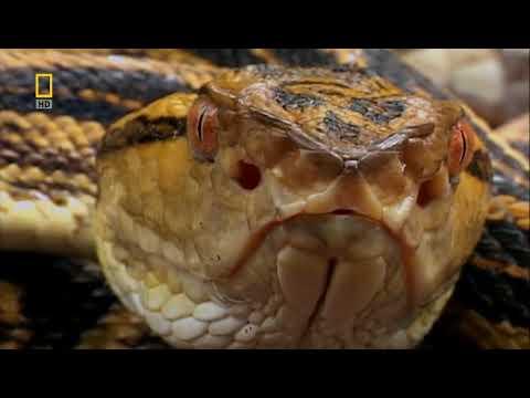 Самые опасные животные. Континентальная Азия