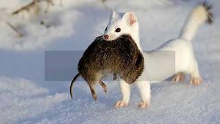 Interesting Ermine Facts