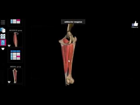 3d Anatomy Muscles Inner Thigh Youtube