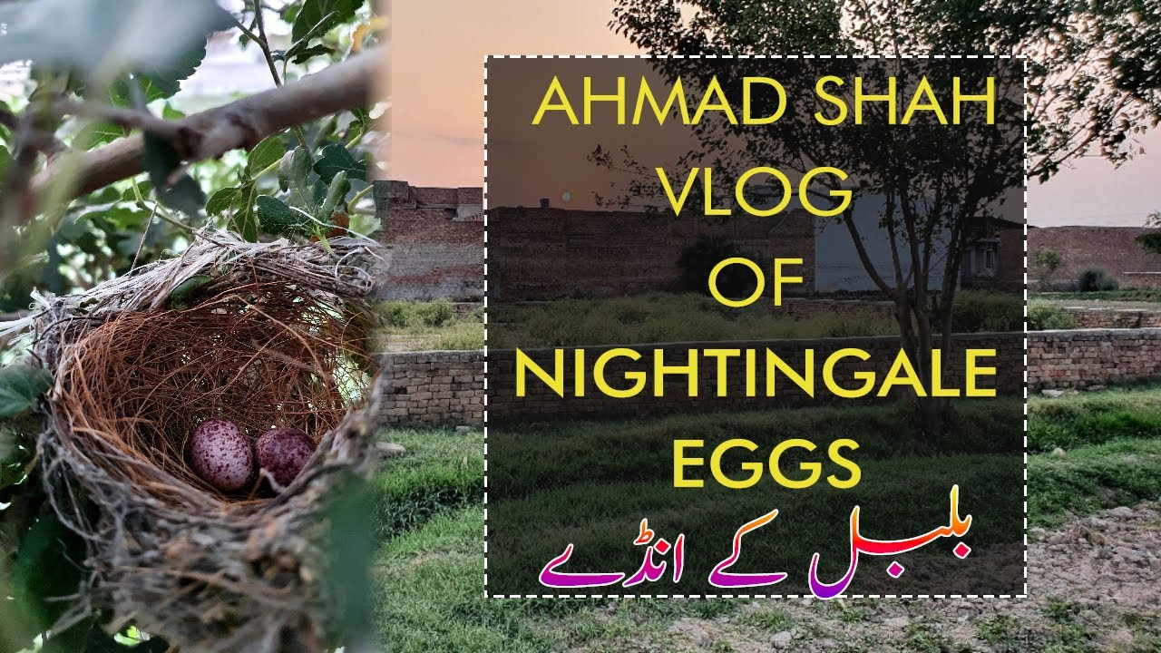 Bulbul|Ahmad Shah Vlog of Nightingale Eggs|Birds