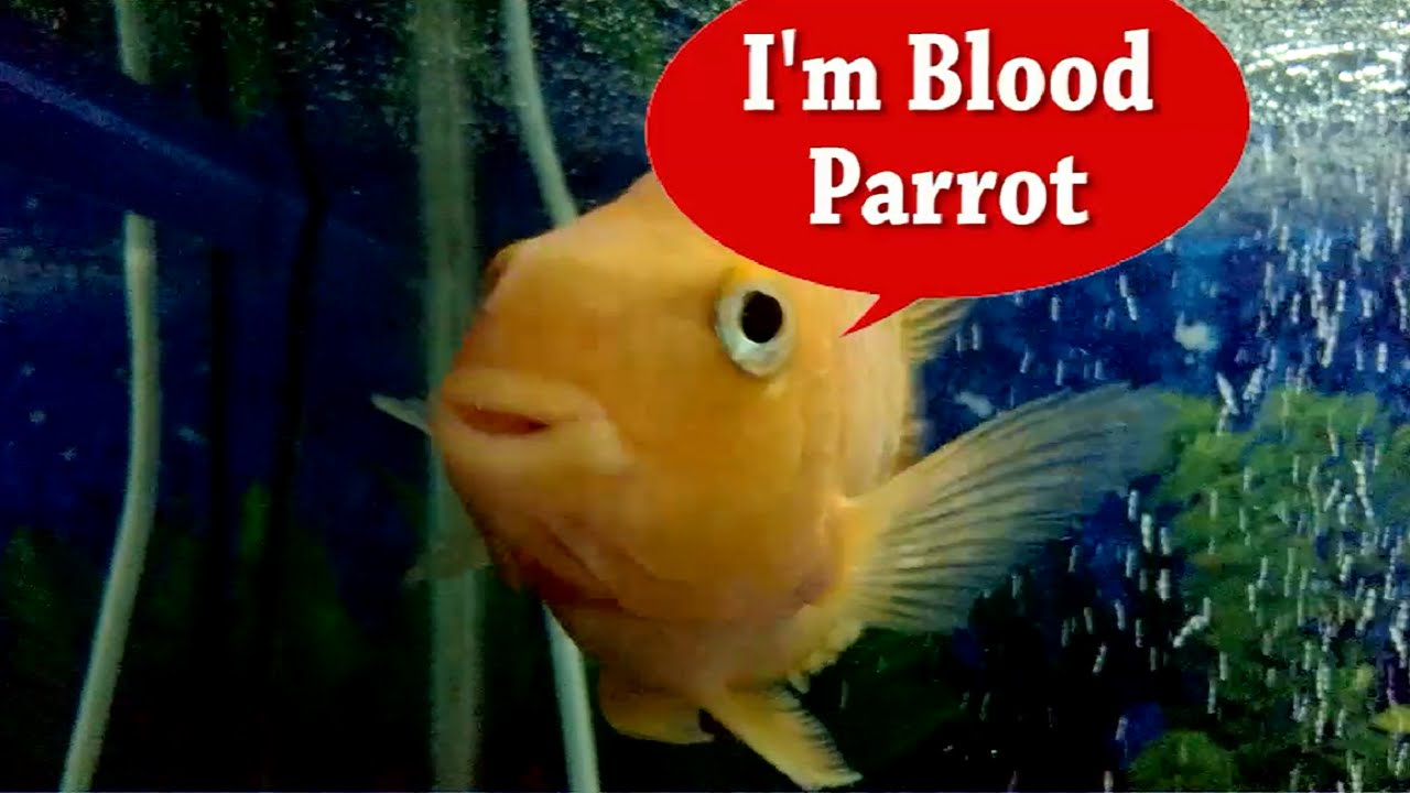 Killer freshwater aquarium fish - A Killer Naughty Blood Parrot Fish