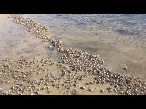 Solider Crabs at Currumbin Creek, Gold Coast, Australia.