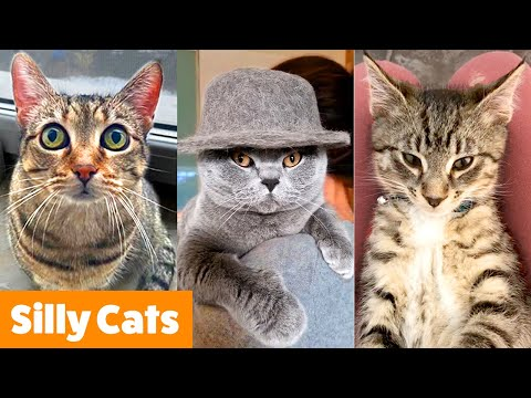 Silly Cat Bloopers   Funny Pet Videos